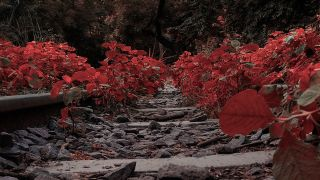 Pathway Filled With Red Plants